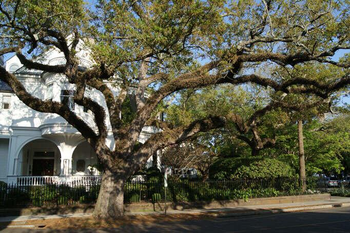 Charleston Angel Oak Trees - street guardians