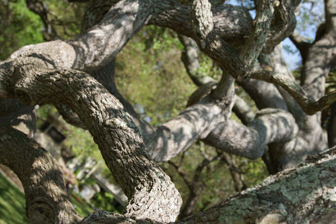 Charleston Angel Oak Trees - strong arms